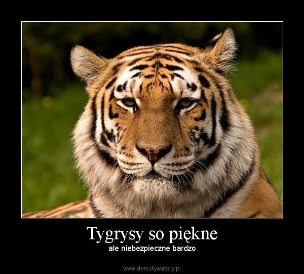 Tygrysy so piękne – ale niebezpieczne bardzo
