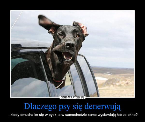 Dlaczego psy się denerwują – ...kiedy dmucha im się w pysk, a w samochodzie same wystawiają łeb za okno?