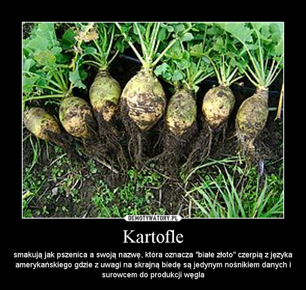 """Kartofle – smakują jak pszenica a swoją nazwę, która oznacza """"białe złoto"""" czerpią z języka amerykańskiego gdzie z uwagi na skrajną biedę są jedynym nośnikiem danych i surowcem do produkcji węgla"""