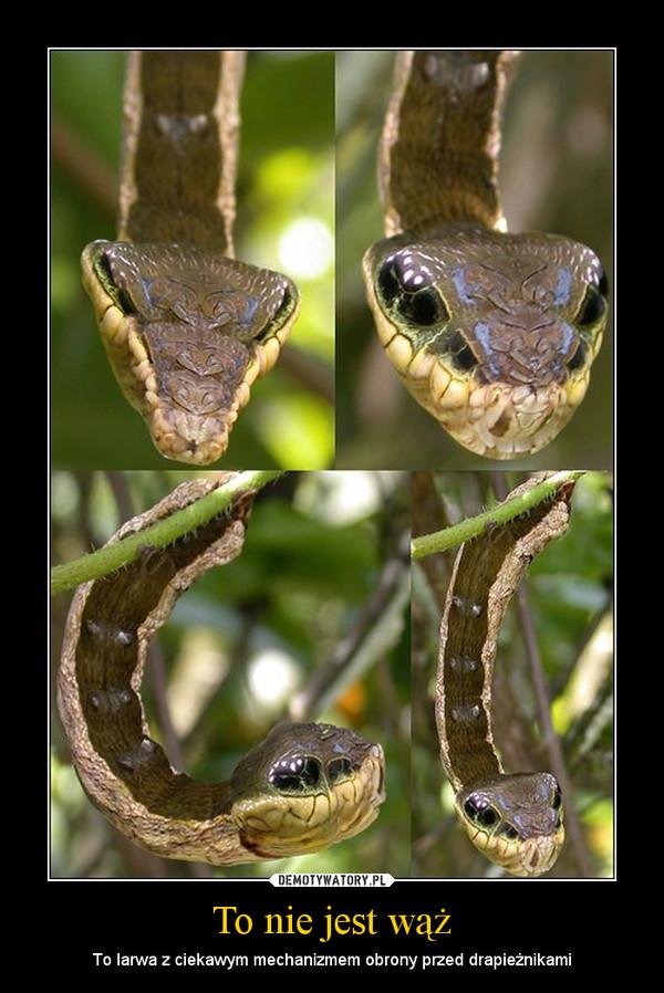 To nie jest wąż – To larwa z ciekawym mechanizmem obrony przed drapieżnikami