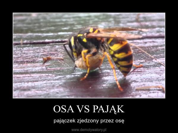 OSA VS PAJĄK – pajączek zjedzony przez osę
