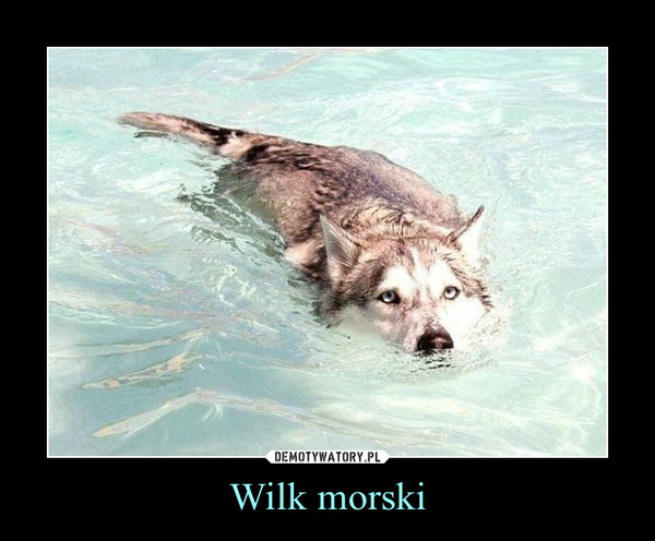 Wilk morski –