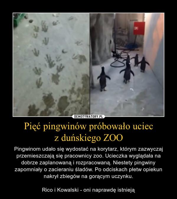 Pięć pingwinów próbowało uciecz duńskiego ZOO – Pingwinom udało się wydostać na korytarz, którym zazwyczaj przemieszczają się pracownicy zoo. Ucieczka wyglądała na dobrze zaplanowaną i rozpracowaną. Niestety pingwiny zapomniały o zacieraniu śladów. Po odciskach płetw opiekun nakrył zbiegów na gorącym uczynku.Rico i Kowalski - oni naprawdę istnieją