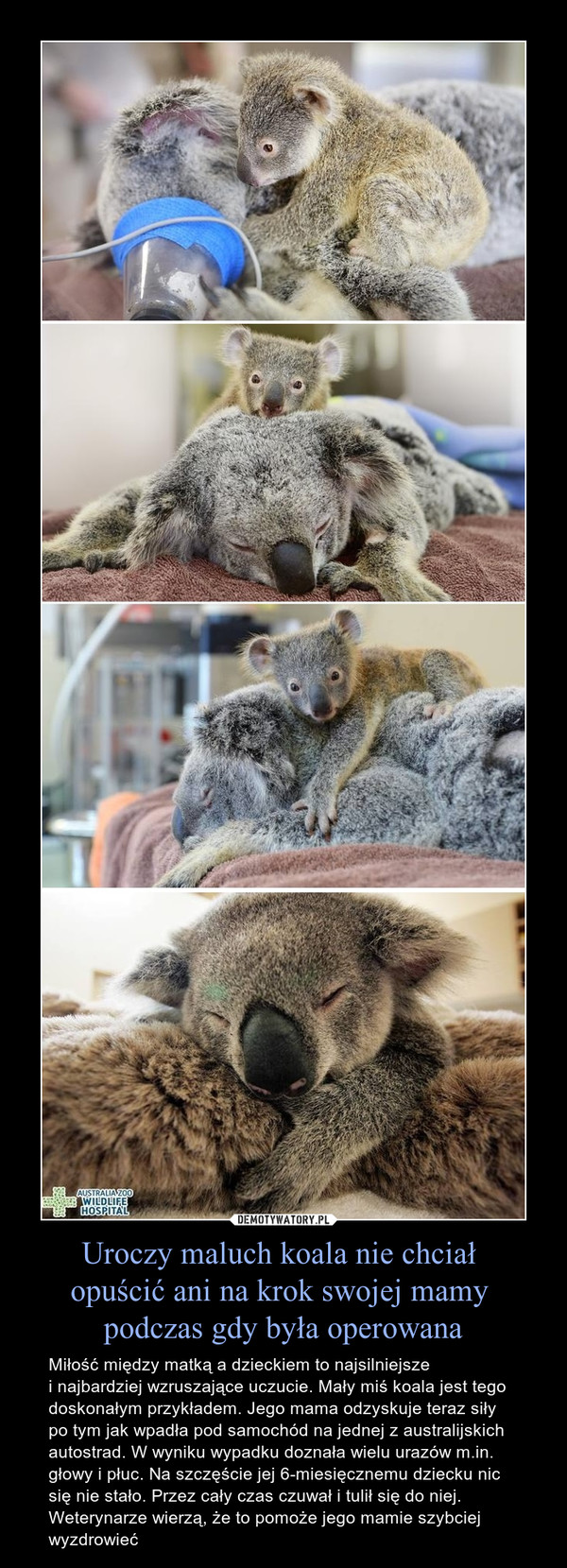Uroczy maluch koala nie chciał opuścić ani na krok swojej mamy podczas gdy była operowana – Miłość między matką a dzieckiem to najsilniejszei najbardziej wzruszające uczucie. Mały miś koala jest tego doskonałym przykładem. Jego mama odzyskuje teraz siły po tym jak wpadła pod samochód na jednej z australijskich autostrad. W wyniku wypadku doznała wielu urazów m.in. głowy i płuc. Na szczęście jej 6-miesięcznemu dziecku nic się nie stało. Przez cały czas czuwał i tulił się do niej. Weterynarze wierzą, że to pomoże jego mamie szybciej wyzdrowieć