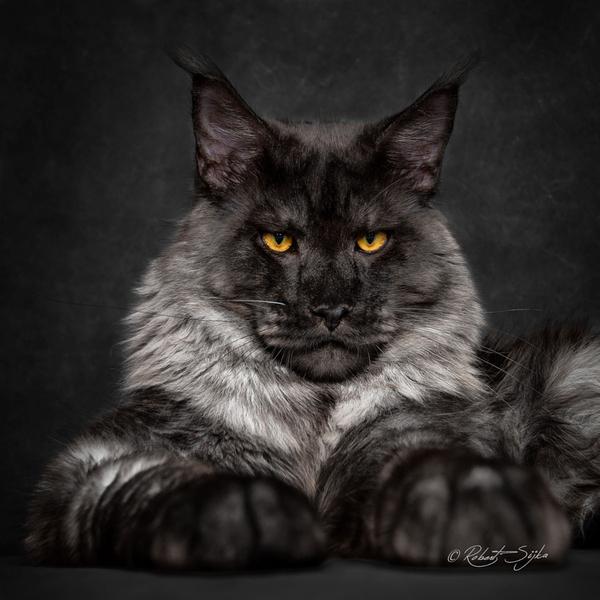 Koty Rasy Maine Coon Sfotografowane Niczym Mityczne Bestie