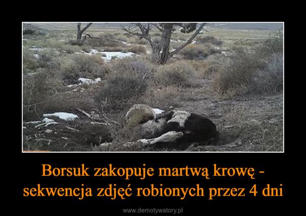 Borsuk zakopuje martwą krowę - sekwencja zdjęć robionych przez 4 dni –