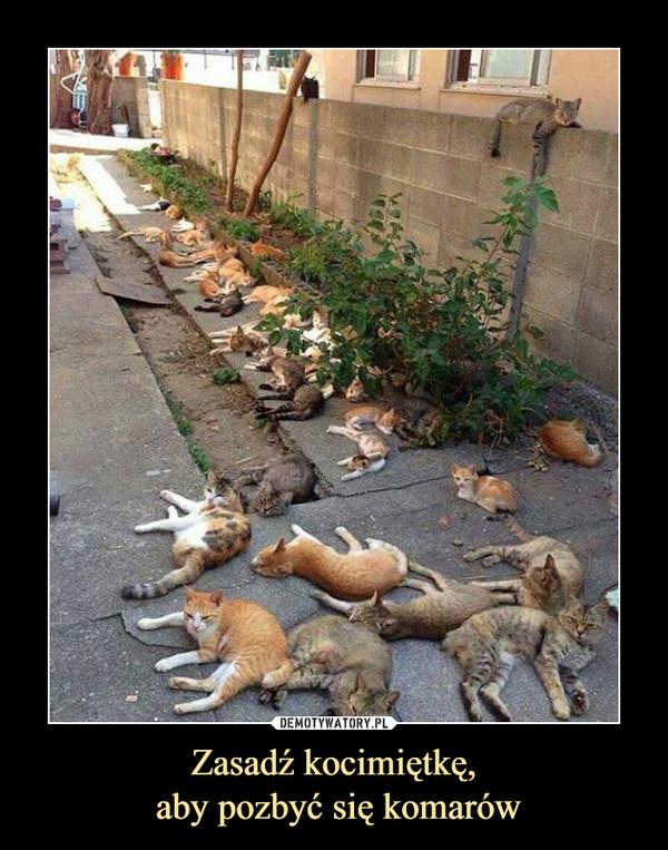 Zasadź kocimiętkę, aby pozbyć się komarów –
