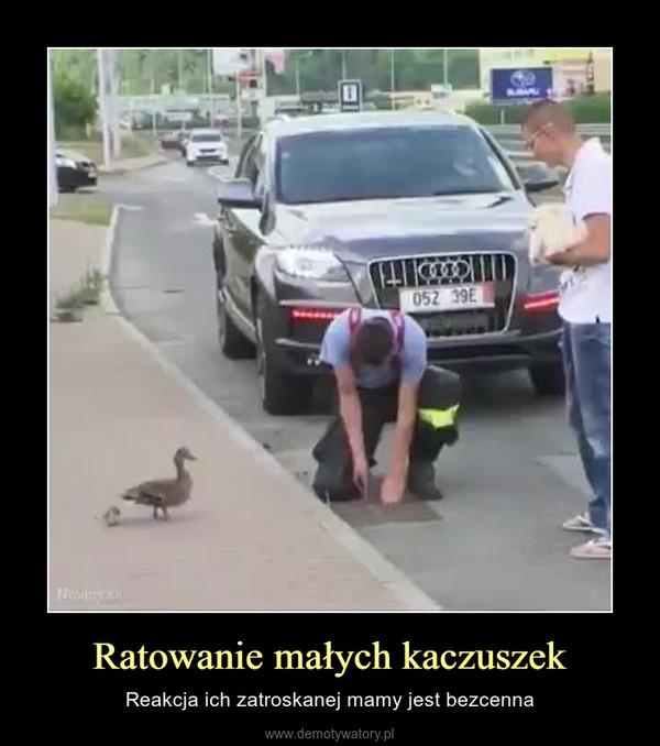 Ratowanie małych kaczuszek – Reakcja ich zatroskanej mamy jest bezcenna