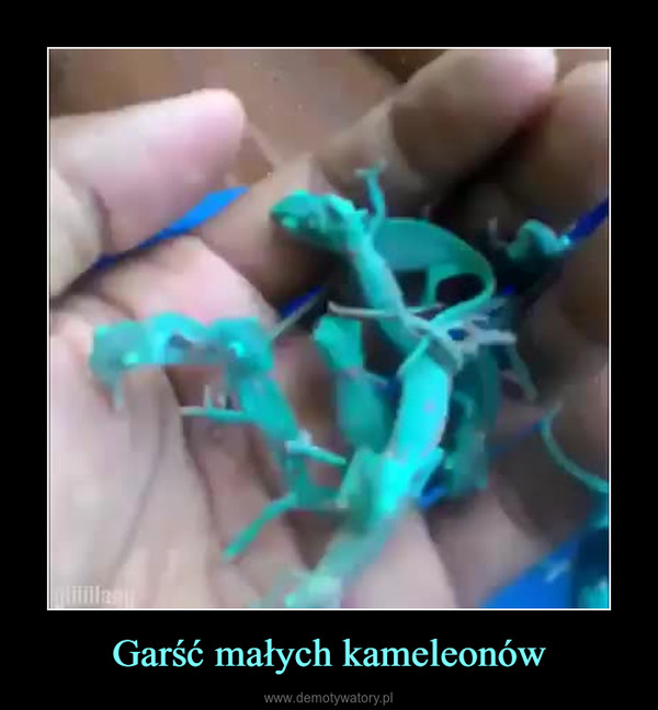 Garść małych kameleonów –
