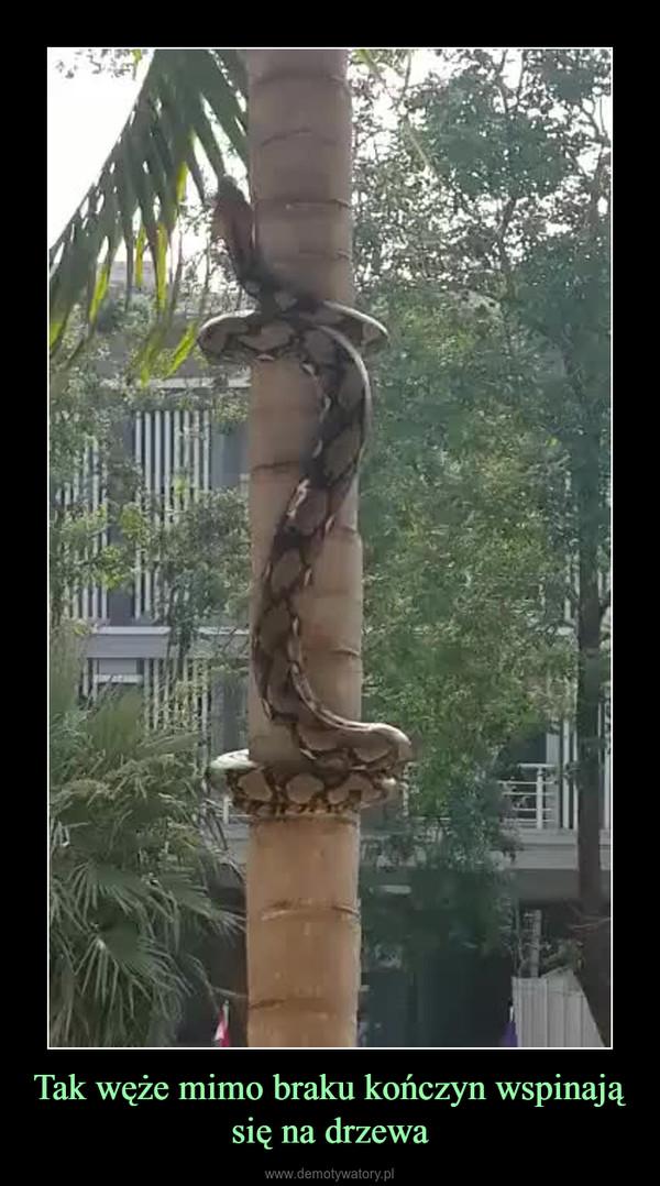 Tak węże mimo braku kończyn wspinają się na drzewa –
