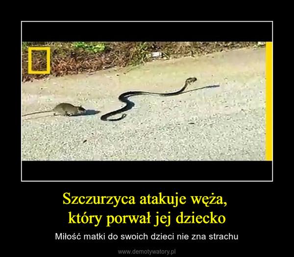Szczurzyca atakuje węża, który porwał jej dziecko – Miłość matki do swoich dzieci nie zna strachu
