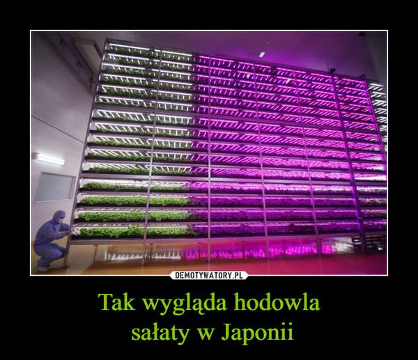 Tak wygląda hodowla sałaty w Japonii –