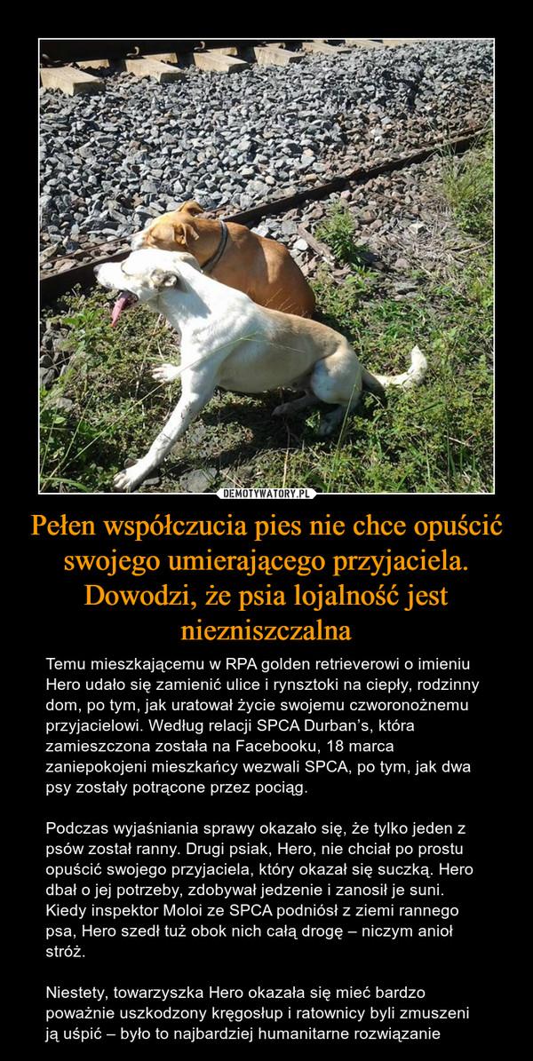 Pełen współczucia pies nie chce opuścić swojego umierającego przyjaciela. Dowodzi, że psia lojalność jest niezniszczalna – Temu mieszkającemu w RPA golden retrieverowi o imieniu Hero udało się zamienić ulice i rynsztoki na ciepły, rodzinny dom, po tym, jak uratował życie swojemu czworonożnemu przyjacielowi. Według relacji SPCA Durban's, która zamieszczona została na Facebooku, 18 marca zaniepokojeni mieszkańcy wezwali SPCA, po tym, jak dwa psy zostały potrącone przez pociąg.Podczas wyjaśniania sprawy okazało się, że tylko jeden z psów został ranny. Drugi psiak, Hero, nie chciał po prostu opuścić swojego przyjaciela, który okazał się suczką. Hero dbał o jej potrzeby, zdobywał jedzenie i zanosił je suni. Kiedy inspektor Moloi ze SPCA podniósł z ziemi rannego psa, Hero szedł tuż obok nich całą drogę – niczym anioł stróż.Niestety, towarzyszka Hero okazała się mieć bardzo poważnie uszkodzony kręgosłup i ratownicy byli zmuszeni ją uśpić – było to najbardziej humanitarne rozwiązanie