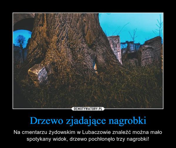 Drzewo zjadające nagrobki – Na cmentarzu żydowskim w Lubaczowie znaleźć można mało spotykany widok, drzewo pochłonęło trzy nagrobki!