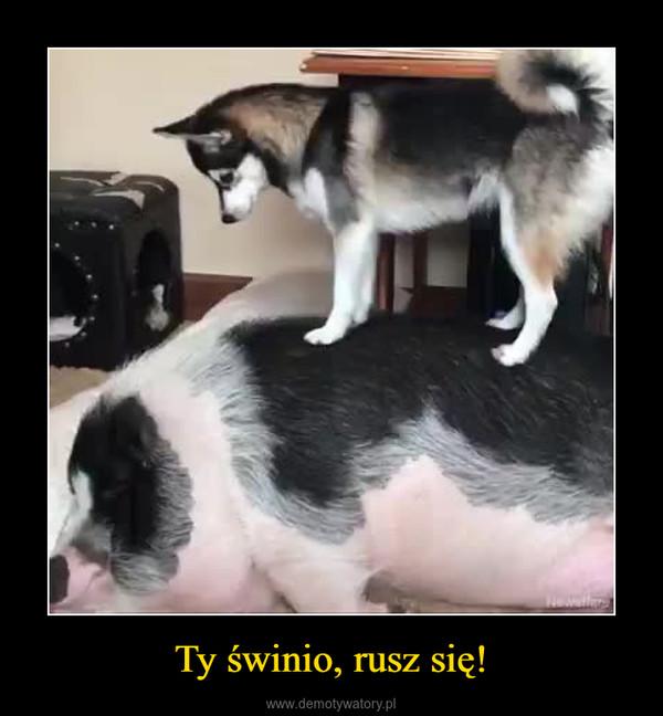 Ty świnio, rusz się! –