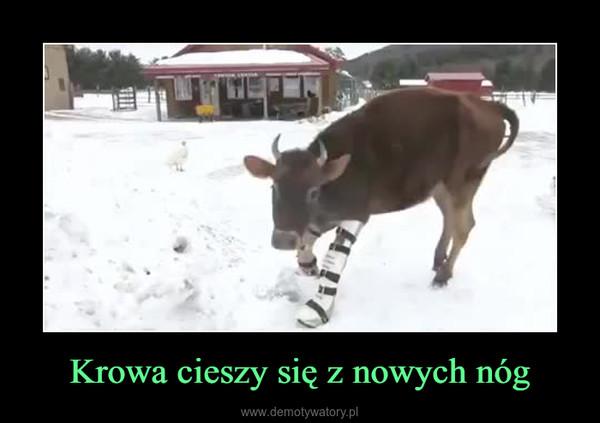 Krowa cieszy się z nowych nóg –