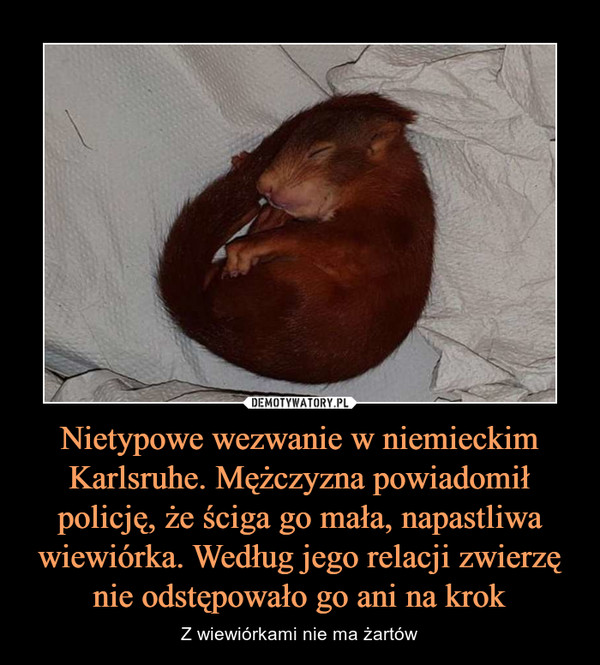 Nietypowe wezwanie w niemieckim Karlsruhe. Mężczyzna powiadomił policję, że ściga go mała, napastliwa wiewiórka. Według jego relacji zwierzę nie odstępowało go ani na krok – Z wiewiórkami nie ma żartów