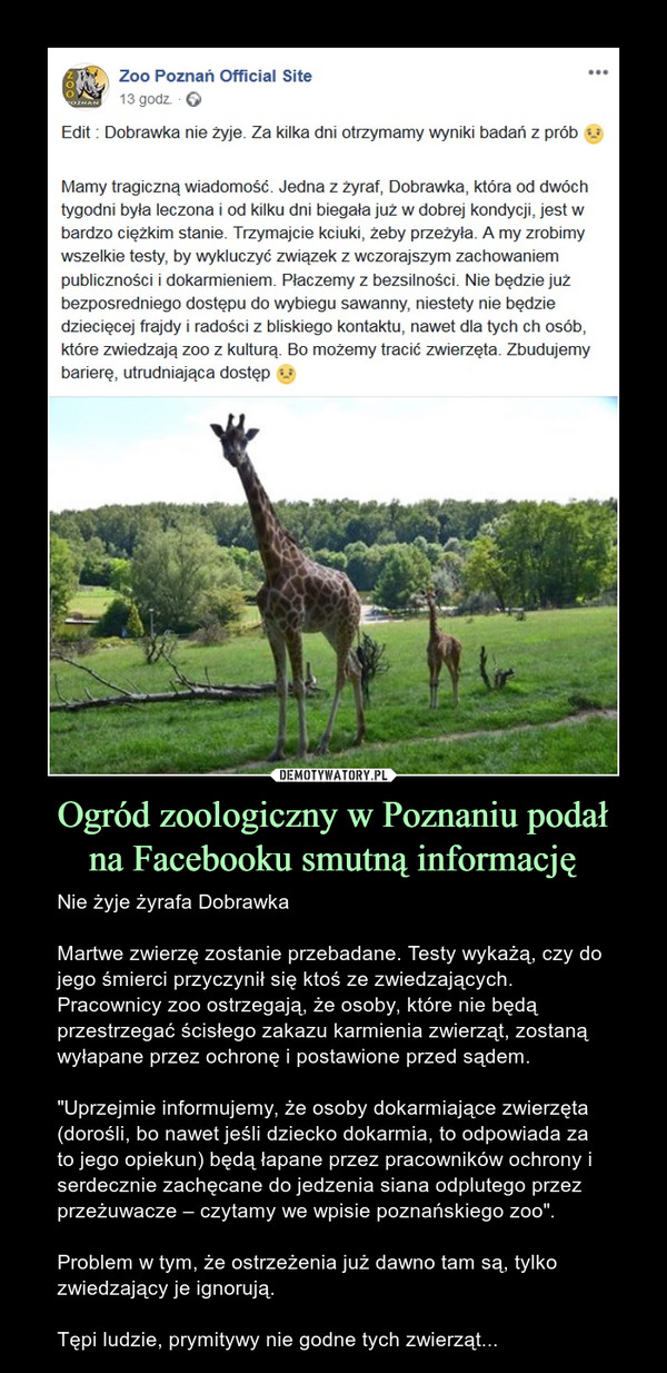 """Ogród zoologiczny w Poznaniu podałna Facebooku smutną informację – Nie żyje żyrafa DobrawkaMartwe zwierzę zostanie przebadane. Testy wykażą, czy do jego śmierci przyczynił się ktoś ze zwiedzających. Pracownicy zoo ostrzegają, że osoby, które nie będą przestrzegać ścisłego zakazu karmienia zwierząt, zostaną wyłapane przez ochronę i postawione przed sądem.""""Uprzejmie informujemy, że osoby dokarmiające zwierzęta (dorośli, bo nawet jeśli dziecko dokarmia, to odpowiada za to jego opiekun) będą łapane przez pracowników ochrony i serdecznie zachęcane do jedzenia siana odplutego przez przeżuwacze – czytamy we wpisie poznańskiego zoo"""".Problem w tym, że ostrzeżenia już dawno tam są, tylko zwiedzający je ignorują.Tępi ludzie, prymitywy nie godne tych zwierząt... Edit : Dobrawka nie żyje. Za kilka dni otrzymamy wyniki badań z prób :(Mamy tragiczną wiadomość. Jedna z żyraf, Dobrawka, która od dwóch tygodni była leczona i od kilku dni biegała już w dobrej kondycji, jest w bardzo ciężkim stanie. Trzymajcie kciuki, żeby przeżyła. A my zrobimy wszelkie testy, by wykluczyć związek z wczorajszym zachowaniem publiczności i dokarmieniem. Płaczemy z bezsilności. Nie będzie już bezposredniego dostępu do wybiegu sawanny, niestety nie będzie dziecięcej frajdy i radości z bliskiego kontaktu, nawet dla tych ch osób, które zwiedzają zoo z kulturą. Bo możemy tracić zwierzęta. Zbudujemy barierę, utrudniająca dostęp"""