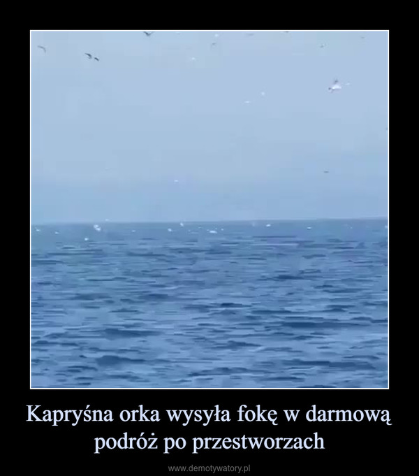 Kapryśna orka wysyła fokę w darmową podróż po przestworzach –