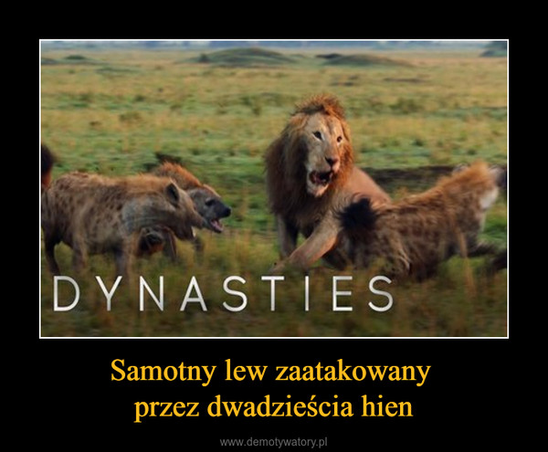 Samotny lew zaatakowany przez dwadzieścia hien –