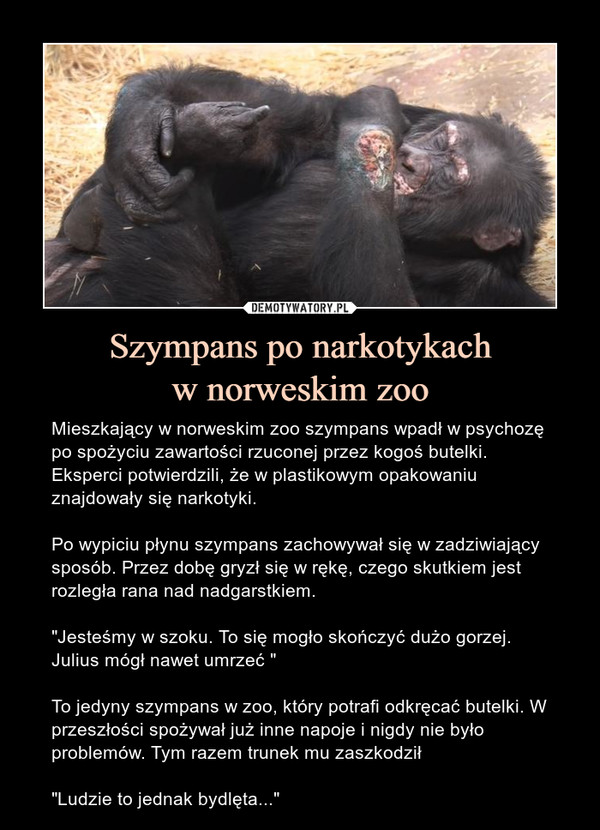 """Szympans po narkotykachw norweskim zoo – Mieszkający w norweskim zoo szympans wpadł w psychozę po spożyciu zawartości rzuconej przez kogoś butelki. Eksperci potwierdzili, że w plastikowym opakowaniu znajdowały się narkotyki.Po wypiciu płynu szympans zachowywał się w zadziwiający sposób. Przez dobę gryzł się w rękę, czego skutkiem jest rozległa rana nad nadgarstkiem. """"Jesteśmy w szoku. To się mogło skończyć dużo gorzej. Julius mógł nawet umrzeć """"To jedyny szympans w zoo, który potrafi odkręcać butelki. W przeszłości spożywał już inne napoje i nigdy nie było problemów. Tym razem trunek mu zaszkodził""""Ludzie to jednak bydlęta..."""""""