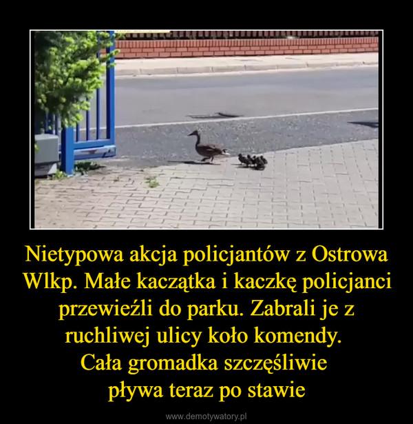 Nietypowa akcja policjantów z Ostrowa Wlkp. Małe kaczątka i kaczkę policjanci przewieźli do parku. Zabrali je z ruchliwej ulicy koło komendy. Cała gromadka szczęśliwie pływa teraz po stawie –