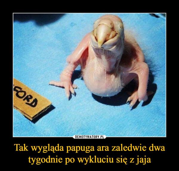 Tak wygląda papuga ara zaledwie dwa tygodnie po wykluciu się z jaja –