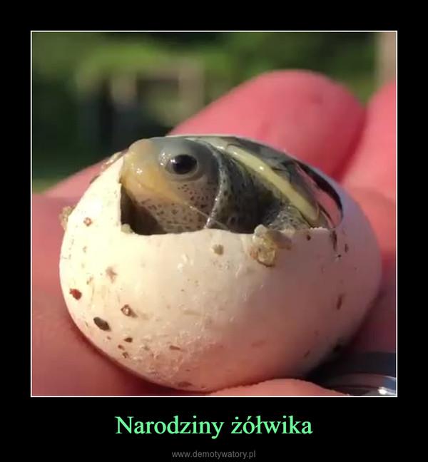 Narodziny żółwika –