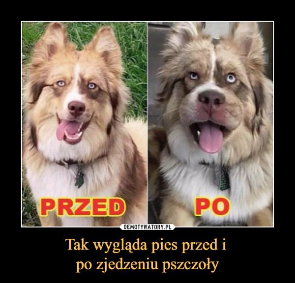 Tak wygląda pies przed i po zjedzeniu pszczoły –