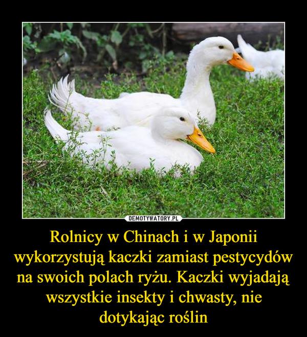 Rolnicy w Chinach i w Japonii wykorzystują kaczki zamiast pestycydów na swoich polach ryżu. Kaczki wyjadają wszystkie insekty i chwasty, nie dotykając roślin –