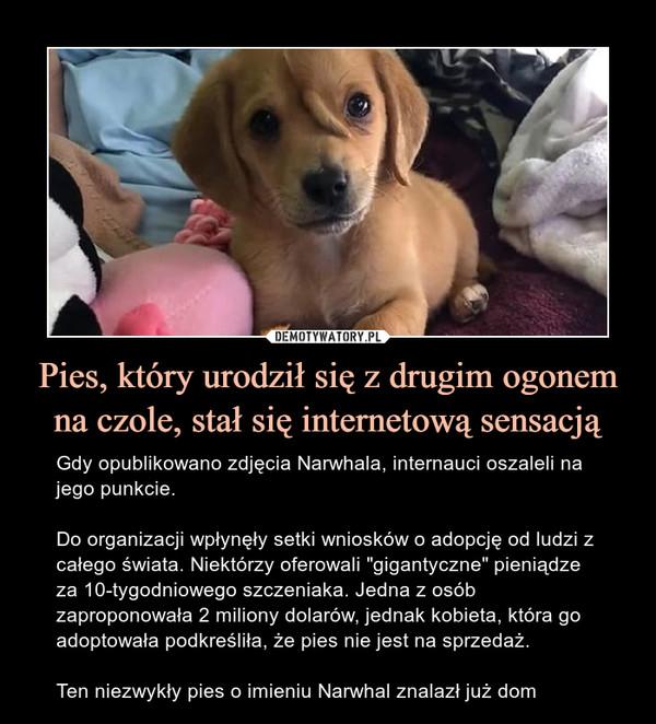 """Pies, który urodził się z drugim ogonem na czole, stał się internetową sensacją – Gdy opublikowano zdjęcia Narwhala, internauci oszaleli na jego punkcie.Do organizacji wpłynęły setki wniosków o adopcję od ludzi z całego świata. Niektórzy oferowali """"gigantyczne"""" pieniądze za 10-tygodniowego szczeniaka. Jedna z osób zaproponowała 2 miliony dolarów, jednak kobieta, która go adoptowała podkreśliła, że pies nie jest na sprzedaż.Ten niezwykły pies o imieniu Narwhal znalazł już dom"""
