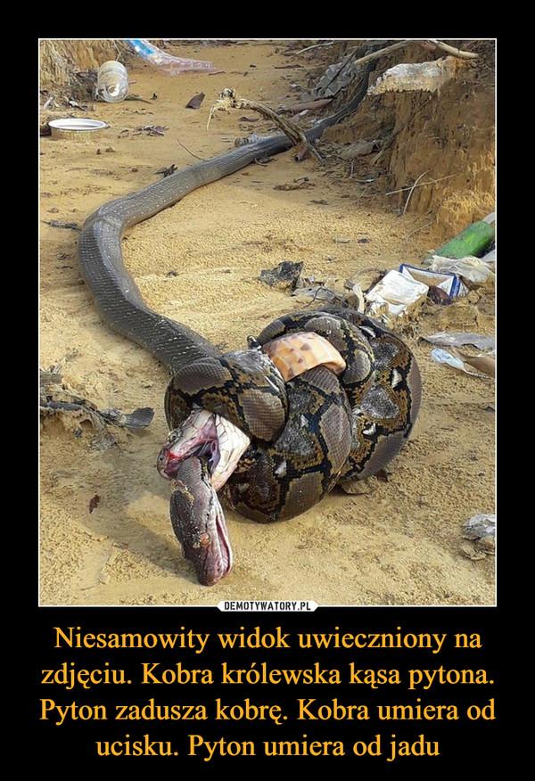 Niesamowity widok uwieczniony na zdjęciu. Kobra królewska kąsa pytona. Pyton zadusza kobrę. Kobra umiera od ucisku. Pyton umiera od jadu –