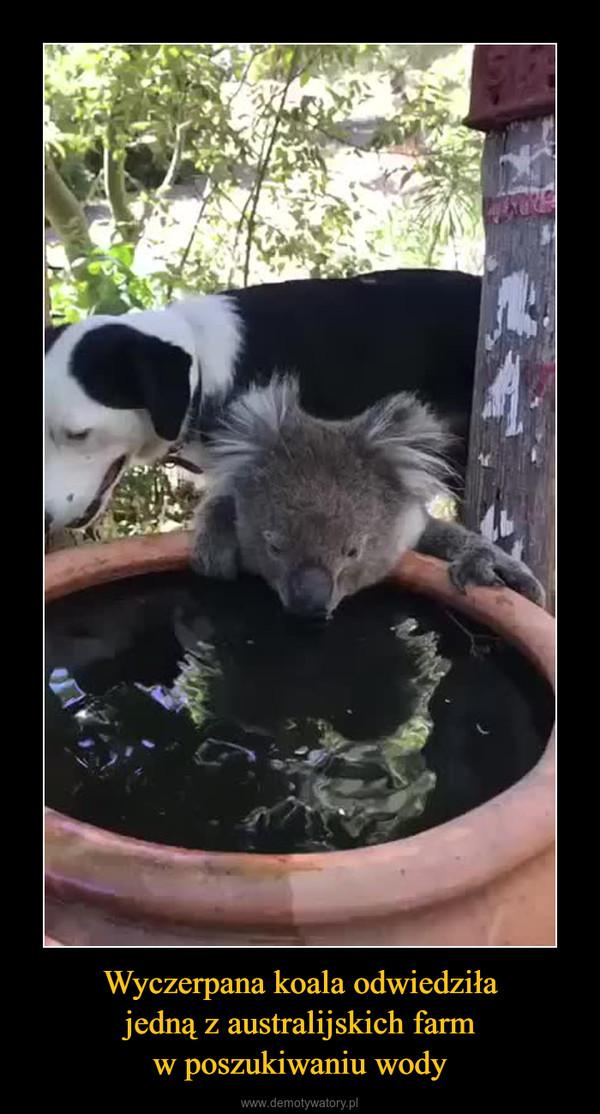 Wyczerpana koala odwiedziłajedną z australijskich farmw poszukiwaniu wody –