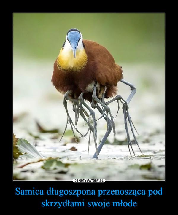 Samica długoszpona przenosząca pod skrzydłami swoje młode –