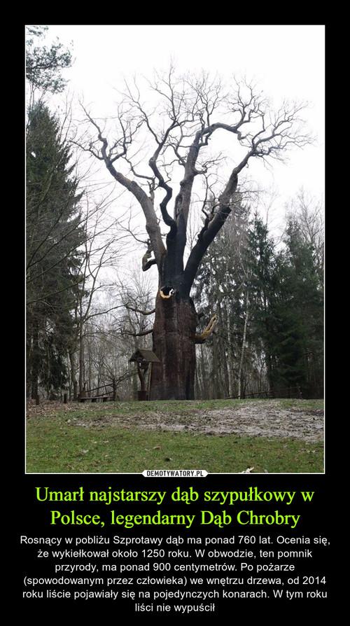 Umarł najstarszy dąb szypułkowy w Polsce, legendarny Dąb Chrobry