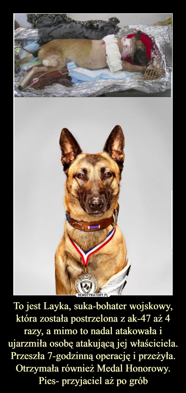 To jest Layka, suka-bohater wojskowy, która została postrzelona z ak-47 aż 4 razy, a mimo to nadal atakowała i ujarzmiła osobę atakującą jej właściciela. Przeszła 7-godzinną operację i przeżyła. Otrzymała również Medal Honorowy. Pies- przyjaciel aż po grób –