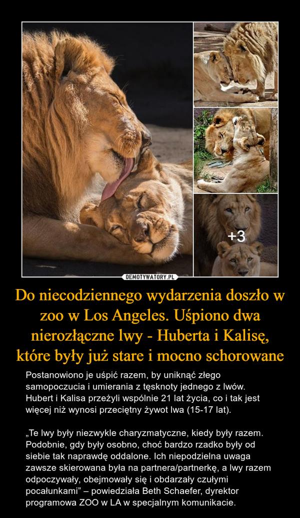 """Do niecodziennego wydarzenia doszło w zoo w Los Angeles. Uśpiono dwa nierozłączne lwy - Huberta i Kalisę, które były już stare i mocno schorowane – Postanowiono je uśpić razem, by uniknąć złego samopoczucia i umierania z tęsknoty jednego z lwów. Hubert i Kalisa przeżyli wspólnie 21 lat życia, co i tak jest więcej niż wynosi przeciętny żywot lwa (15-17 lat). """"Te lwy były niezwykle charyzmatyczne, kiedy były razem. Podobnie, gdy były osobno, choć bardzo rzadko były od siebie tak naprawdę oddalone. Ich niepodzielna uwaga zawsze skierowana była na partnera/partnerkę, a lwy razem odpoczywały, obejmowały się i obdarzały czułymi pocałunkami"""" – powiedziała Beth Schaefer, dyrektor programowa ZOO w LA w specjalnym komunikacie."""