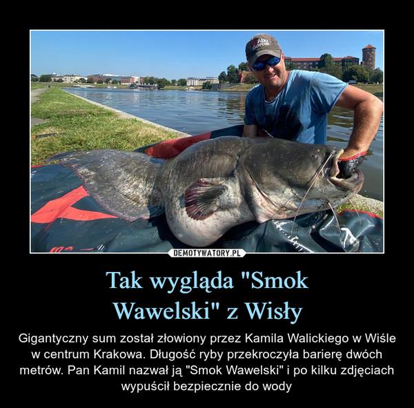 """Tak wygląda """"SmokWawelski"""" z Wisły – Gigantyczny sum został złowiony przez Kamila Walickiego w Wiśle w centrum Krakowa. Długość ryby przekroczyła barierę dwóch metrów. Pan Kamil nazwał ją """"Smok Wawelski"""" i po kilku zdjęciach wypuścił bezpiecznie do wody"""