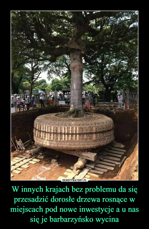 W innych krajach bez problemu da się przesadzić dorosłe drzewa rosnące w miejscach pod nowe inwestycje a u nas się je barbarzyńsko wycina