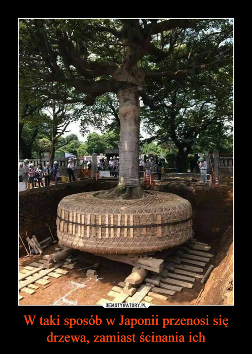 W taki sposób w Japonii przenosi się drzewa, zamiast ścinania ich