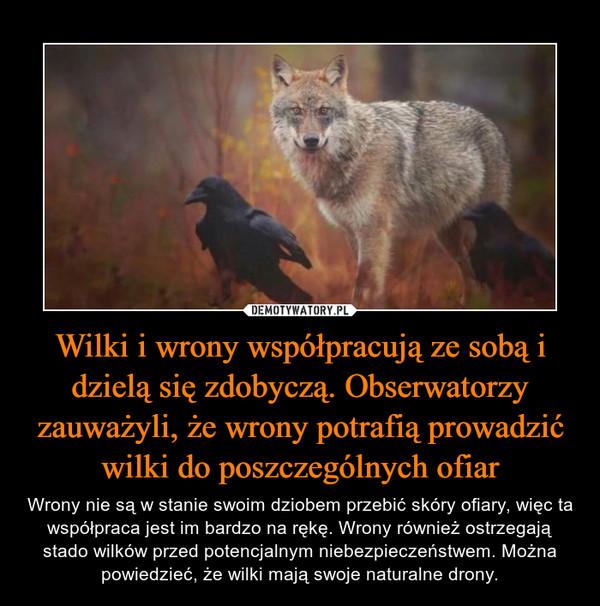 Wilki i wrony współpracują ze sobą i dzielą się zdobyczą. Obserwatorzy zauważyli, że wrony potrafią prowadzić wilki do poszczególnych ofiar – Wrony nie są w stanie swoim dziobem przebić skóry ofiary, więc ta współpraca jest im bardzo na rękę. Wrony również ostrzegają stado wilków przed potencjalnym niebezpieczeństwem. Można powiedzieć, że wilki mają swoje naturalne drony.