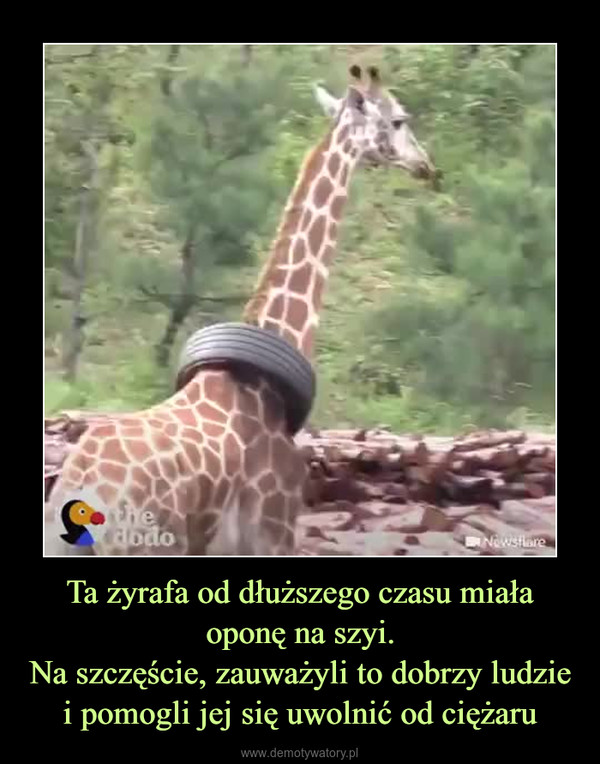 Ta żyrafa od dłuższego czasu miała oponę na szyi.Na szczęście, zauważyli to dobrzy ludzie i pomogli jej się uwolnić od ciężaru –