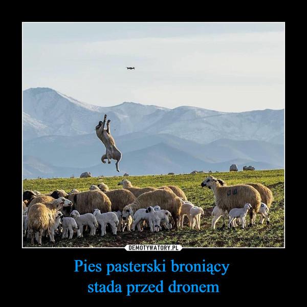 Pies pasterski broniący stada przed dronem –