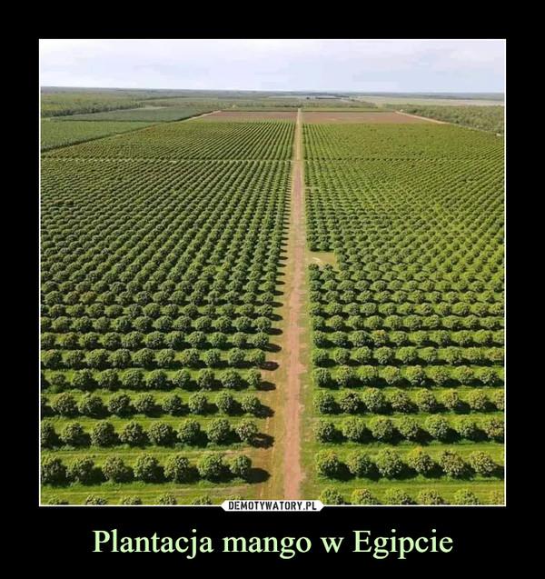 Plantacja mango w Egipcie –