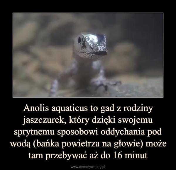 Anolis aquaticus to gad z rodziny jaszczurek, który dzięki swojemu sprytnemu sposobowi oddychania pod wodą (bańka powietrza na głowie) może tam przebywać aż do 16 minut –