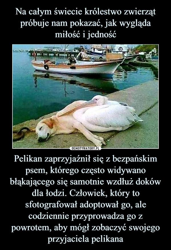 Pelikan zaprzyjaźnił się z bezpańskim psem, którego często widywano błąkającego się samotnie wzdłuż doków dla łodzi. Człowiek, który to sfotografował adoptował go, ale codziennie przyprowadza go z powrotem, aby mógł zobaczyć swojego przyjaciela pelikana –