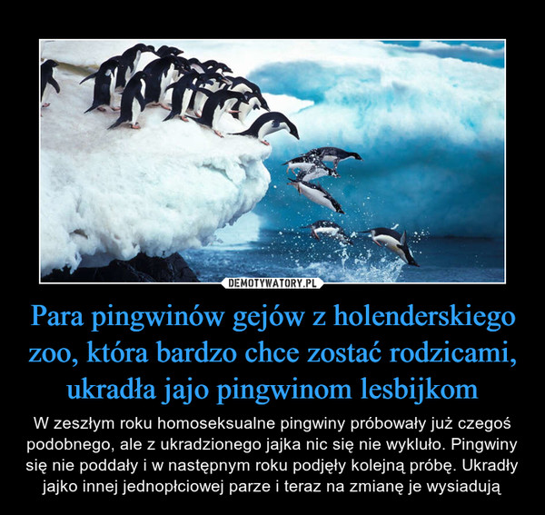 Para pingwinów gejów z holenderskiego zoo, która bardzo chce zostać rodzicami, ukradła jajo pingwinom lesbijkom – W zeszłym roku homoseksualne pingwiny próbowały już czegoś podobnego, ale z ukradzionego jajka nic się nie wykluło. Pingwiny się nie poddały i w następnym roku podjęły kolejną próbę. Ukradły jajko innej jednopłciowej parze i teraz na zmianę je wysiadują