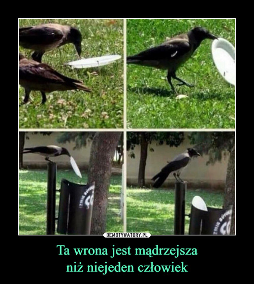 Ta wrona jest mądrzejsza niż niejeden człowiek