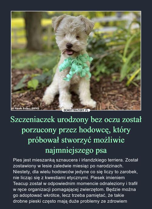Szczeniaczek urodzony bez oczu został porzucony przez hodowcę, który próbował stworzyć możliwie najmniejszego psa