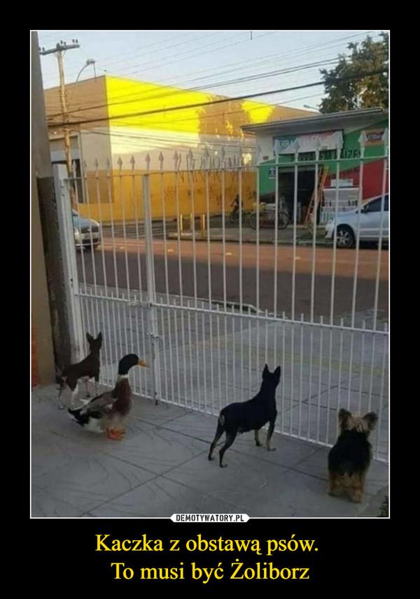 Kaczka z obstawą psów. To musi być Żoliborz –